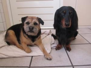 Borden Terrier en Langharige Teckel, Max en Joey