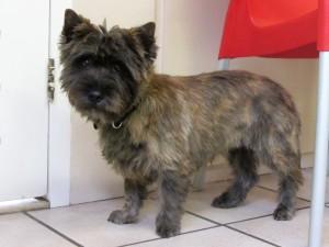Cairn terrier, Ziva