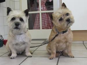 Cairn terriers, Wiby en Bikkel