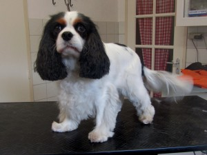 Cavelier King Charles Spaniel, Quinty