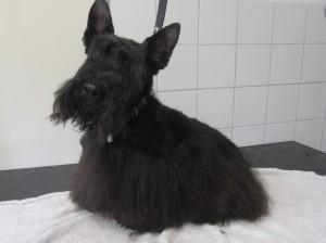 Schotse terrier DIva na de behandeling