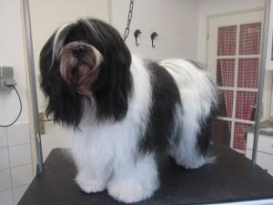 Tibbetaanse terrier bont de 2012 094