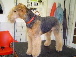 Airdale Terrier Sarah na behandeling