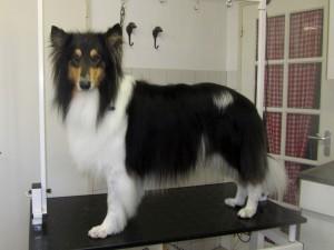 Schotse herdershond, Lassie